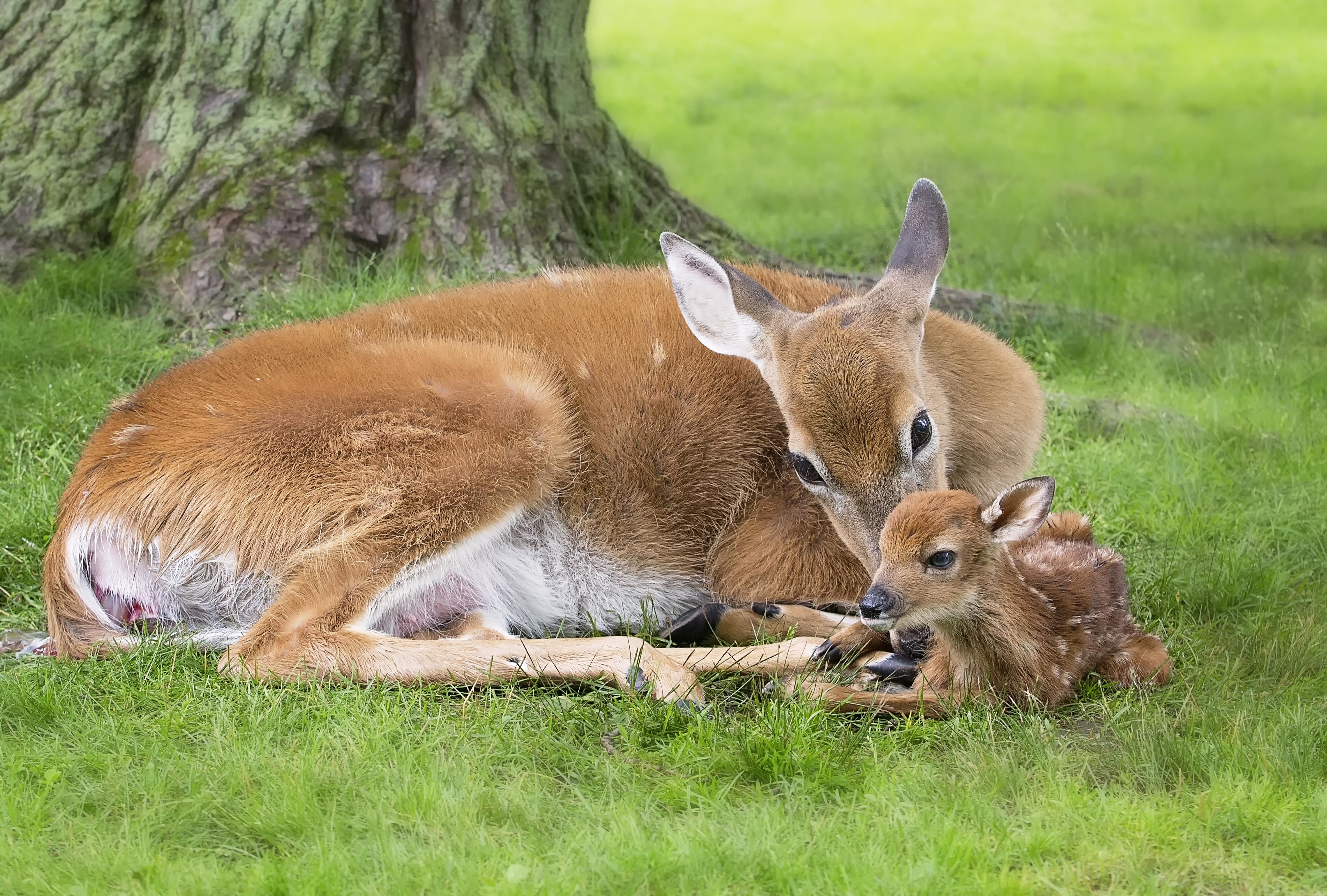 Deer Amp Fawn Rehabilitating Orphan And Injured Wildlife