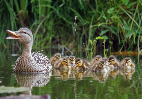 Duck With Chicks