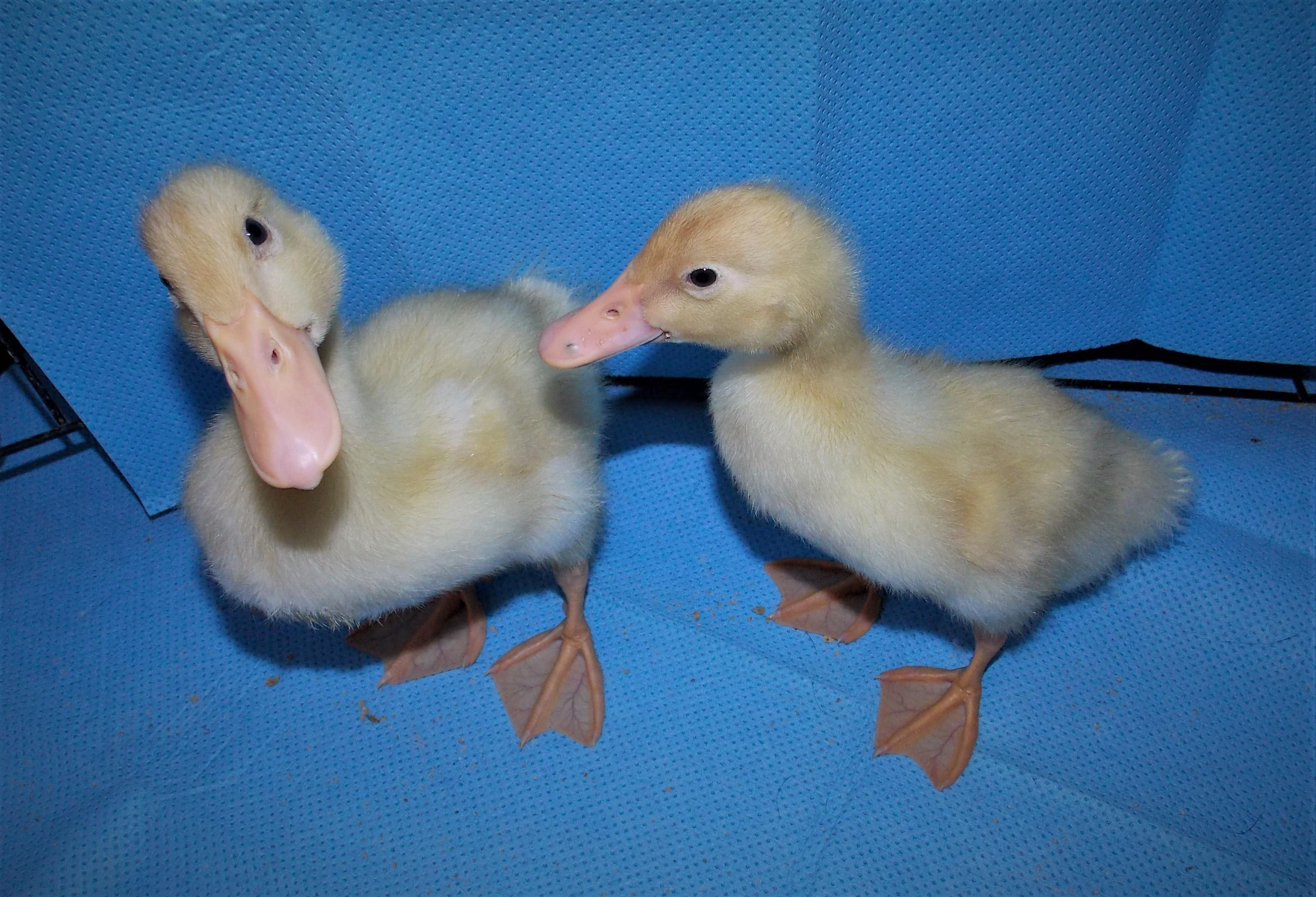 Motel Ducks