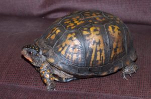 Dexter the Eastern Box Turtle