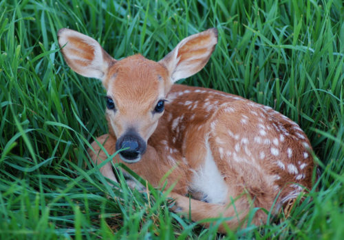 Do Not Bother The Fawns!