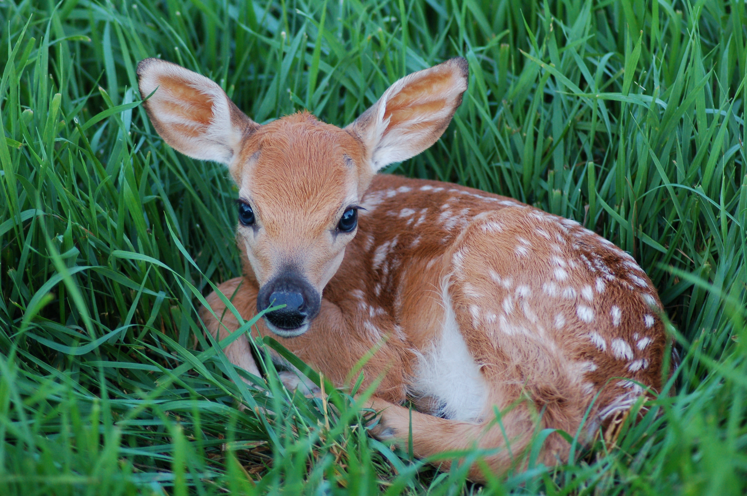 Young Spotted Fawn Picture