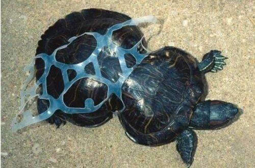Turtle In Pop Ring