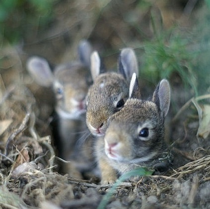 Baby Bunnies2