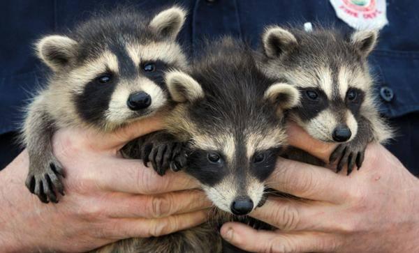 Raccoons (1)
