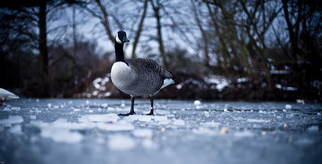 Goose_on_ice__Flickr